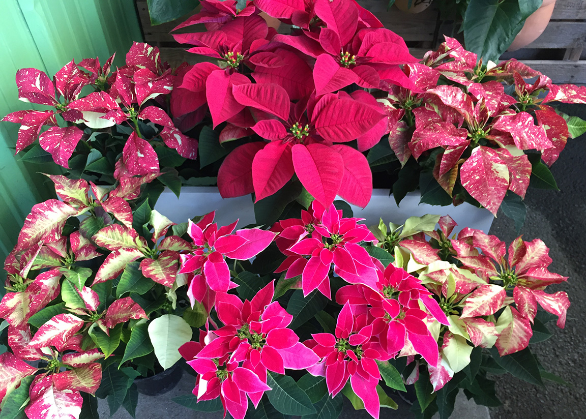 Poinsettias are here!