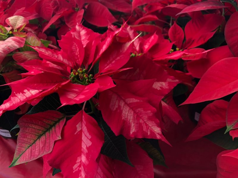 Poinsettias and Norfolk Pines